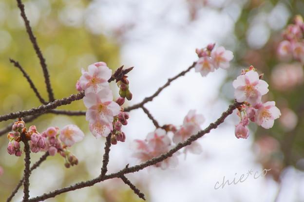 真冬の桜。。