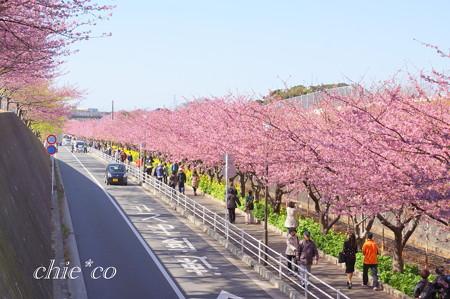 三浦海岸~河津桜~-157
