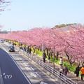 写真: 三浦海岸~河津桜~-157