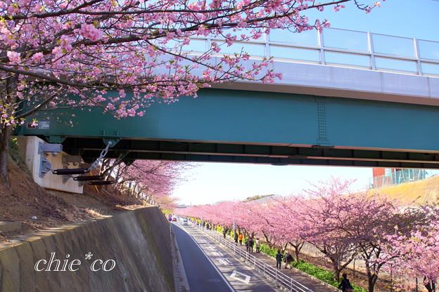 三浦海岸~河津桜~-158
