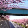 写真: 三浦海岸~河津桜~-158