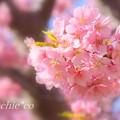 写真: 三浦海岸~河津桜~-163