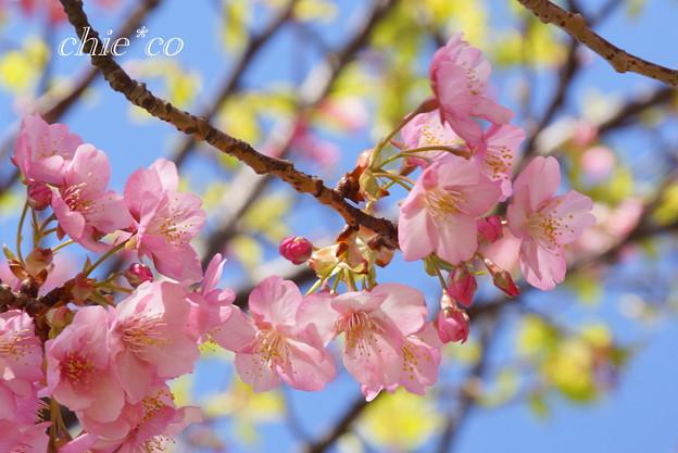 三浦海岸~河津桜~-167