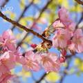 写真: 三浦海岸~河津桜~-167