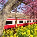写真: 三浦海岸~河津桜~-169