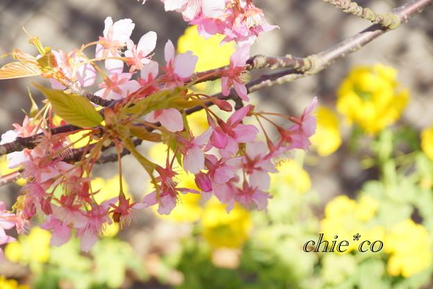 写真: 三浦海岸~河津桜~-170