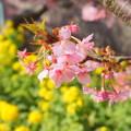 写真: 三浦海岸~河津桜~-159