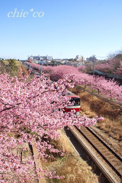三浦海岸~河津桜~-175