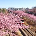 写真: 三浦海岸~河津桜~-175