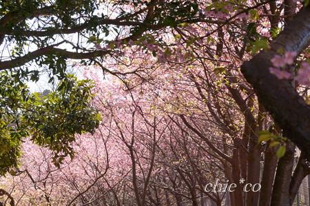 三浦海岸~河津桜~-180