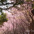写真: 三浦海岸~河津桜~-180