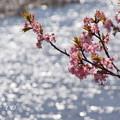 写真: 三浦海岸~河津桜~-198