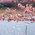 写真: 三浦海岸~河津桜~-199