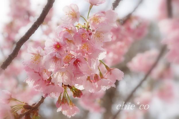大寒桜。。