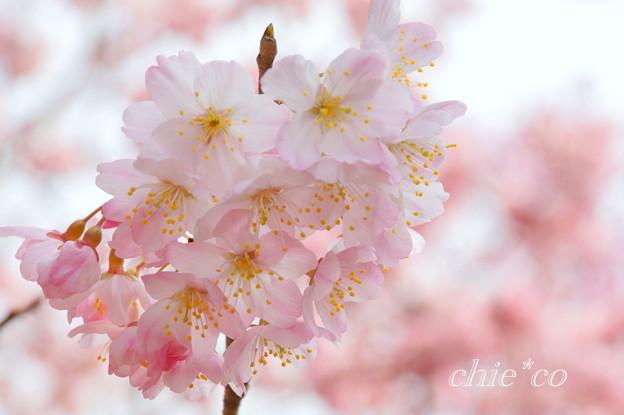 春めき。。