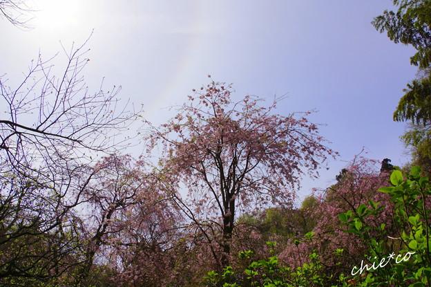 淡い光環と・・しだれ桜・・