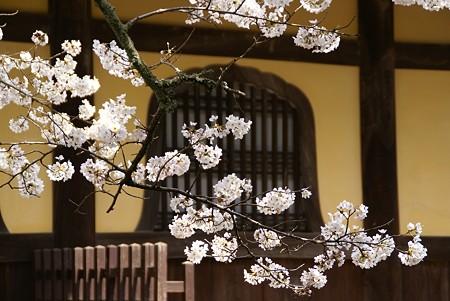 京都 桜さんぽ 11