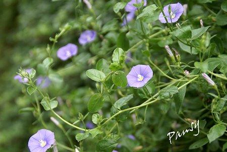 淡紫の花・・