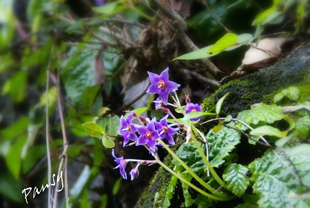 紫のお星さま(イワタバコ)・・
