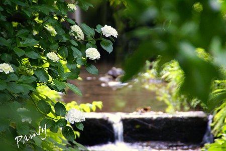 小川に咲く紫陽花・・