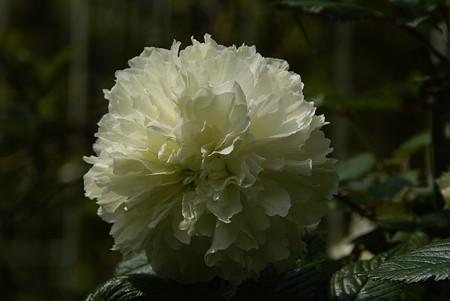 白いフリル・・♪