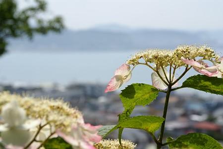 海を望む・・ 紫陽花の丘より・・