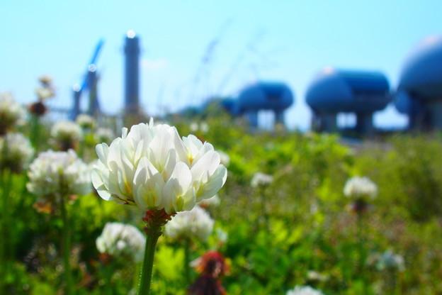 クローバーの花が咲く