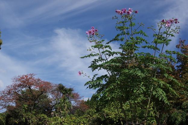 皇帝ダリアに桜木