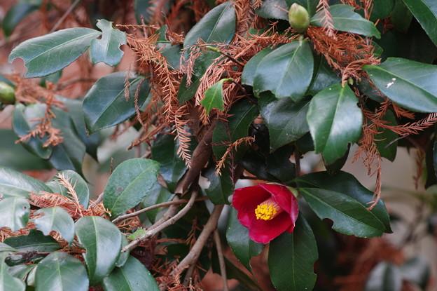 椿とメタセコイア枯葉