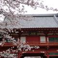 桜と仁王門