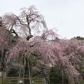 Photos: 神原の枝垂桜