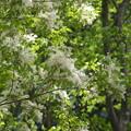 アオダモの花