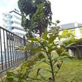 1510131214出島の木(1)(3)