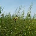 Photos: 1605070019菜の花異常1
