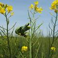 Photos: 1605070028菜の花異常2