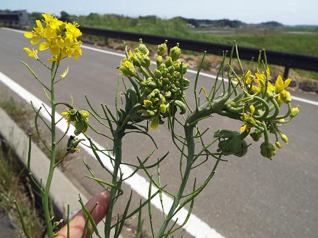 1605070035菜の花異常3