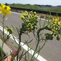 Photos: 1605070035菜の花異常3