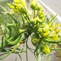 Photos: 1605070037菜の花異常4