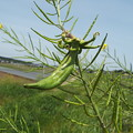 Photos: 1605070033菜の花異常7