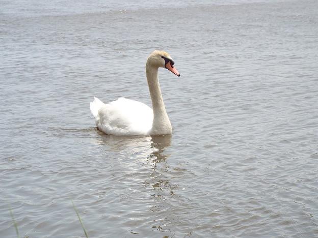 1605070044白鳥2