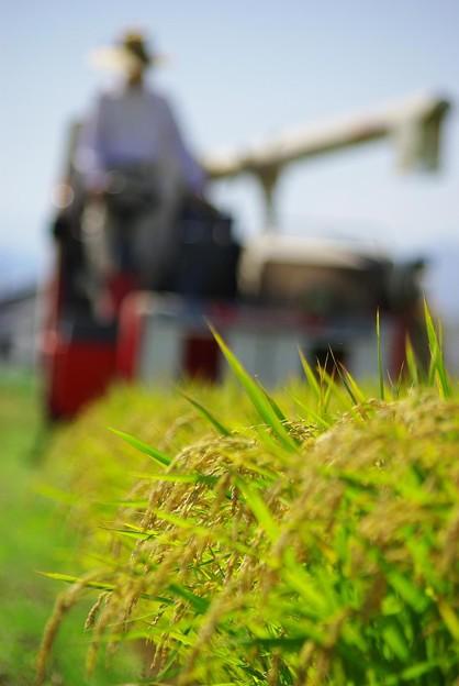 写真: 稲刈り1