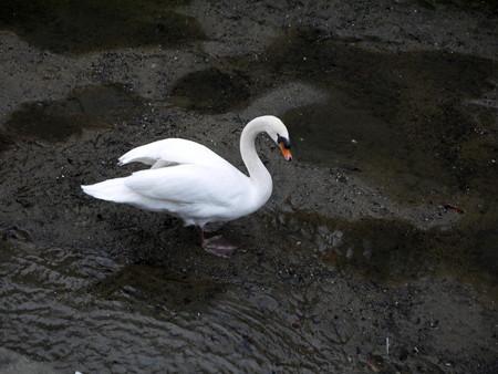 160201-24白鳥