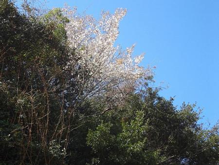 160321山桜