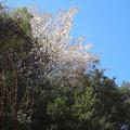 写真: 160321山桜