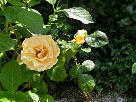 160515-1黄バラ