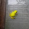 Photos: 綺麗な黄緑のアマガエル