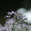 Photos: くものショールをまとった紫苑