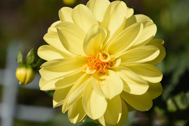 黄色いダリア2