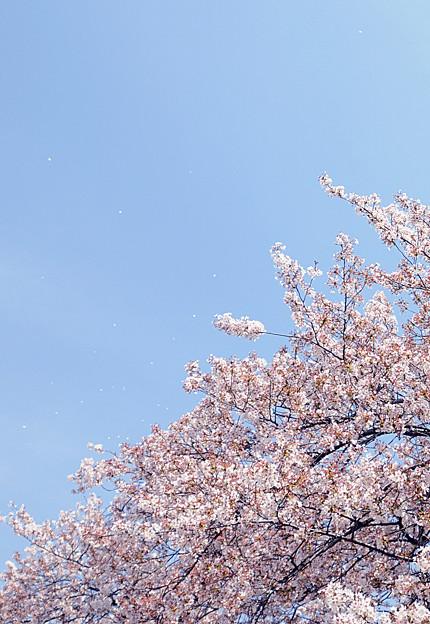 桜、空高く舞う