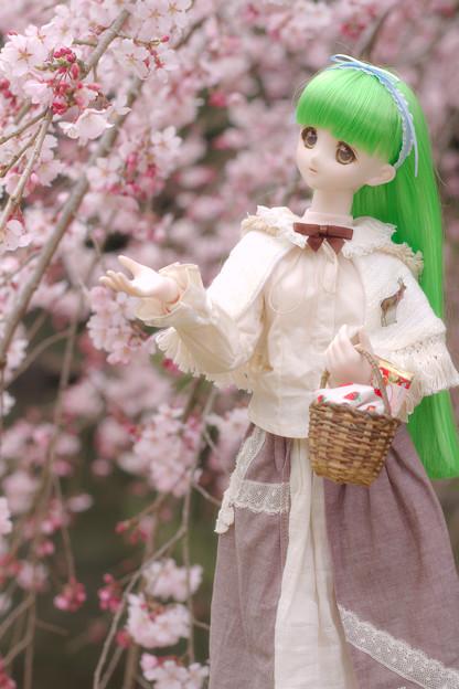しだれ桜-6